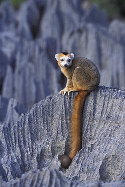 Male Crowned lemur (Eulemur coronatus) sitting on limestone karst, Ankarana Special Reserve, Madagascar  -  Jouan & Rius/ npl