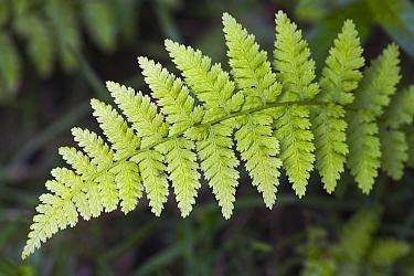 Close-up detail of a fern leaf, New Forest, Hampshire, England  -  Adam Burton/ npl