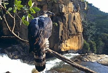 Crowned Eagle (Stephanoaetus coronatus) at Inyangombe Falls Zimbabwe,  -  John Downer/ npl
