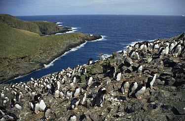 Macaroni Penguin (Eudyptes chrysolophus) rookery with around 80,000 pairs on Bird Island, South Georgia Island  -  Martha Holmes/ npl