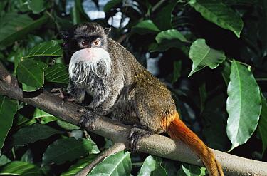 Emperor Tamarin (Saguinus imperator) Amazonas, Brazil  -  Luiz Claudio Marigo/ npl