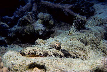 Crocodile Flathead (Cociella crocodila) camouflaged on sea bed Eygpt, Red Sea  -  Jeff Rotman/ npl