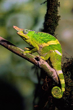 Giant Fischer Chameleon (Bradypodion fischeri) male on a branch Captive, United Kingdom  -  Andy Sands/ npl