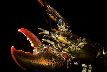 American Lobster (Homarus americanus) in defensive posture New England Atlantic Ocean  -  Jeff Rotman/ npl