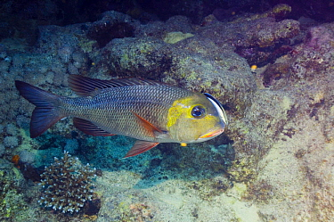 Bigeye emperor (Monotaxis grandoculis) being cleaned by Cleaner wrasse (Labroides dimidiatus), Red Sea, Egypt  -  Georgette Douwma/ npl
