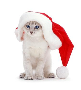 Domestic Cat (Felis catus) in Father Christmas hat  -  Jane Burton/ npl
