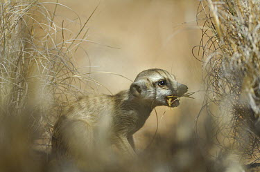 Meerkat (Suricata suricatta) catching insect prey, South Africa  -  Solvin Zankl/ npl