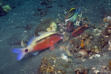 Dash-and-dot goatfish (Parupeneus barberinus) grubbing in sand for prey, closely watched by Longbarbel goatfish (Parupeneus macronema) and a Twoline spinecheek (Scolopsis bilineatus) hoping to catch e...  -  Georgette Douwma/ npl