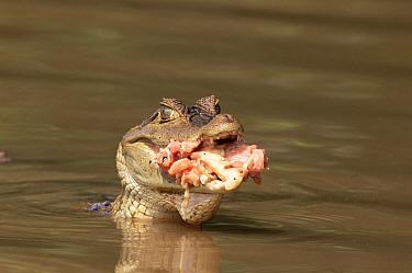 Spectacled Caiman (Caiman crocodilus) with mouth full of raw meat Llanos, Venezuela  -  Luiz Claudio Marigo/ npl