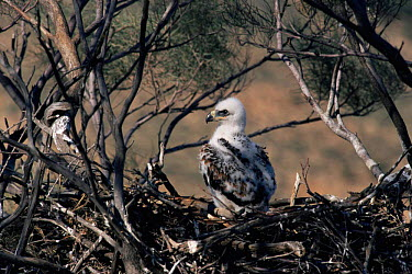 Wedge-tailed Eagle (Aquila audax) chick in nest, Sturt National Park, New South Wales, Australia  -  Owen Newman/ npl