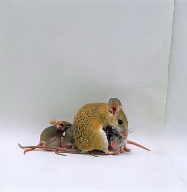 Arabian Spiny Mouse (Acomys dimidiatus) mother with her four babies, 3 days old  -  Jane Burton/ npl
