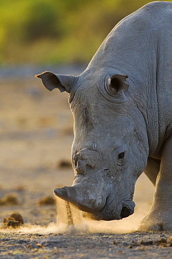 White Rhinoceros (Ceratotherium simum) horning and snorting display, Etosha National Park, Namibia  -  Tony Heald/ npl