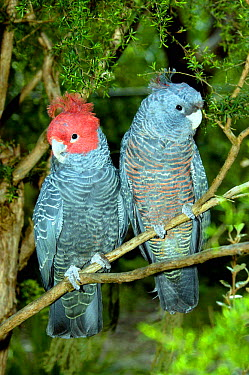 Gang-gang Cockatoo (Callocephalon fimbriatum) male and female getting ready to roost Victoria, Australia  -  Roger Powell/ npl