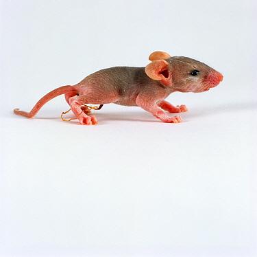 Arabian Spiny Mouse (Acomys dimidiatus) newborn baby showing umbilical cord  -  Jane Burton/ npl