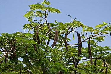 Flame tree, Royal Poinciana, Flamboyant tree (Delonix regia) with Seed pods Botanic Garden, La Gomera, Canary Islands  -  Adrian Davies/ npl