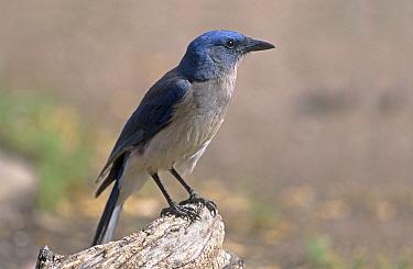 Mexican Jay (Aphelocoma ultramarina) Arizona  -  David Kjaer/ npl