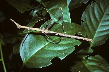 Stick grasshopper (Proscopia sp) female, in rainforest, Peru  -  Premaphotos/ npl