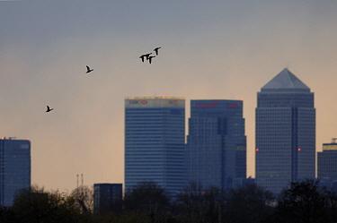 Mallard ducks (Anas platyrhynchos) in flight over the Canary Wharf, London, UK March 2007  -  Laurent Geslin/ npl