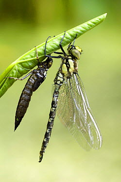 Southern Hawker Dragonfly (Aeshna cyanea) Newly emerged adult next to larval case, West Sussex, United Kingdom  -  Andy Sands/ npl