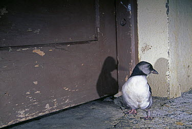 Atlantic Puffin (Fratercula arctica) young that has been distracted by the lights of the town and landed on the streets of Heimaey, Vestmann Island, Iceland  -  Inaki Relanzon/ npl