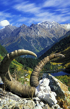 Skull and horns of the tur (goat) in Boduki valley, Teberdinskiy Zapovednik Reserve, Caucasus mountains, Karacheyevo Cherkessiya, Russia Many turs are killed during avalanches in February and March, a...  -  Konstantin Mikhailov/ npl