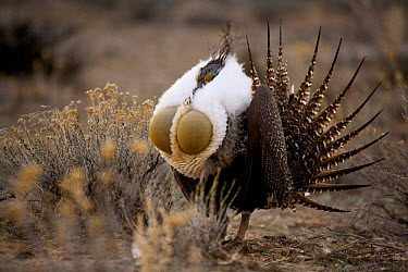 Sage Grouse (Centrocercus urophasianus) male courtship display, Baggs, Wyoming  -  Carol Walker/ npl