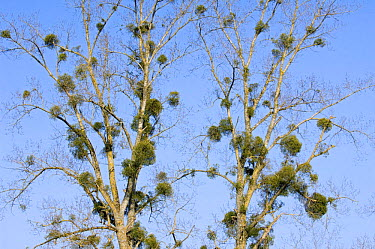 Mistletoe (Viscum album) in Poplar tree (Populus sp) La Brenne, France  -  Philippe Clement/ npl