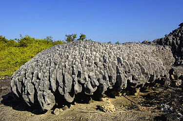 Uplifted coral raised by a volcanic uplift in 1954 Urbina Bay, Isabela Is, Galapagos  -  Pete Oxford/ npl
