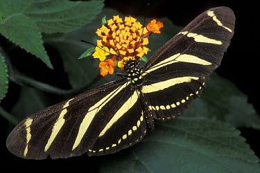Zebra Butterfly (Heliconius charitonius), Costa Rica  -  Jouan & Rius/ npl