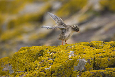 Arctic Tern (Sterna paradisaea) stretching wings on lichen-covered rock, Farne Islands, Northumberland, United Kingdom  -  Peter Lewis/ npl