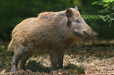Wild Boar (Sus scrofa) profile, captive, Bavarian Forest, Germany  -  Philippe Clement/ npl