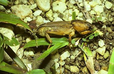 Mole cricket (Scapteriscus vicinus) Trinidad  -  Premaphotos/ npl