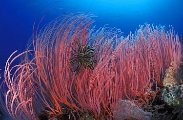 Featherstar in Fan coral (Milleporidaae) Indo-Pacific  -  Jurgen Freund/ npl