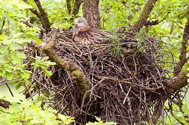 Red Kite (Milvus milvus) incubating eggs on nest, Wales, United Kingdom  -  Andy Sands/ npl