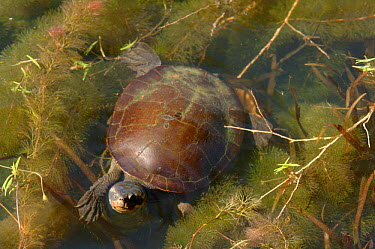 Saw-shelled Turtle (Elseya latisternum) Ross River, Queensland, Australia  -  Roger Powell/ npl