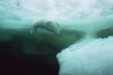 Harp Seal (Phoca groenlandicus) pup under ice Gulf of St Lawrence, Canada four week old  -  Doug Allan/ npl
