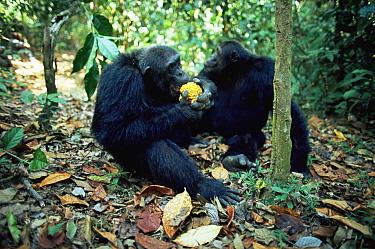 Eastern Chimpanzee (Pan troglodytes schweinfurthii) males 'Bonobo' and 'Alouf', eating Ilombo fruit Mahale National Park, Tanzania  -  Anup Shah/ npl