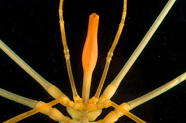 Deepsea benthic sea spider (Colossendeis sp) Close-up of head and mouthparts, deep sea Atlantic ocean  -  David Shale/ npl