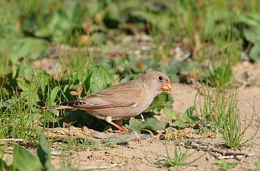 Trumpeter Finch (Rhodopechys githaginea) feeding, Musandam, Oman  -  Hanne & Jens Eriksen/ npl