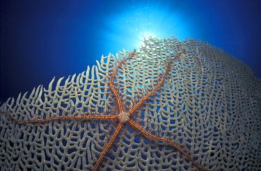 Suenson's Brittle Star (Ophiothrix suensonii) on fan coral, Caribbean  -  Jurgen Freund/ npl