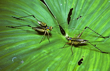Diurnal cricket (Nisitrus sp) male on the left 'singing', with raised wings as he courts the female on the right, in rainforest, Sumatra  -  Premaphotos/ npl