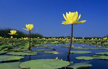 Yellow water lillies (Nuphar lutea) in bloom on lake, Welder Wildlife Refuge, Sinton, Texas, USA  -  Rolf Nussbaumer/ npl