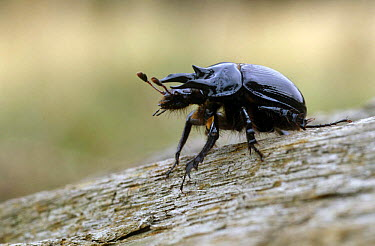 Minotaur Beetle (Typhaeus typhoeus) on tree bark, United Kingdom  -  Russell Cooper/ npl