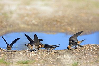 Cave Swallows (Hirundo fulva) collecting mud for nesting material, Texas, USA  -  David Kjaer/ npl