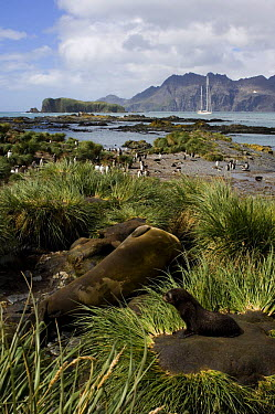 Fur seals (Arctocephalus gazella) in the grass tussock and a group of gentoo penguins (Pygoscelis papua) on the shoreline, with SY Adele anchored in the distance Prion Island, South Georgia, February...  -  Rick Tomlinson/ npl