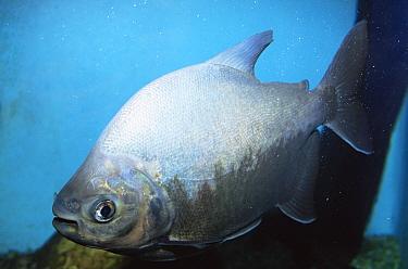 Pirapitinga fish (Colossoma bidens) Amazonas, Brazil  -  Luiz Claudio Marigo/ npl