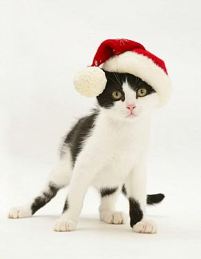 Domestic Cat (Felis catus)Black-and-white kitten wearing a Father Christmas hat  -  Jane Burton/ npl