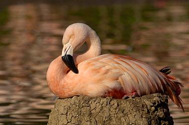 Chilean Flamingo (Phoenicopterus chilensis) sitting on nest, WWT, Slimbridge, United Kingdom  -  Dave Watts/ npl