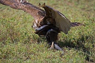 Brown snake eagle (Circaetus cinereus) killing a cobra snake Lake Nakuru National Reserve, Kenya, Africa  -  Jeff Vanuga/ npl