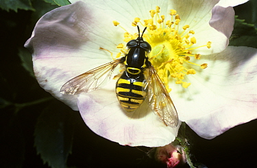 Hoverfly (Chrysotoxum cautum) one of the best wasp mimics both visually and behaviourally, on a Dog rose flower, United Kingdom  -  Premaphotos/ npl